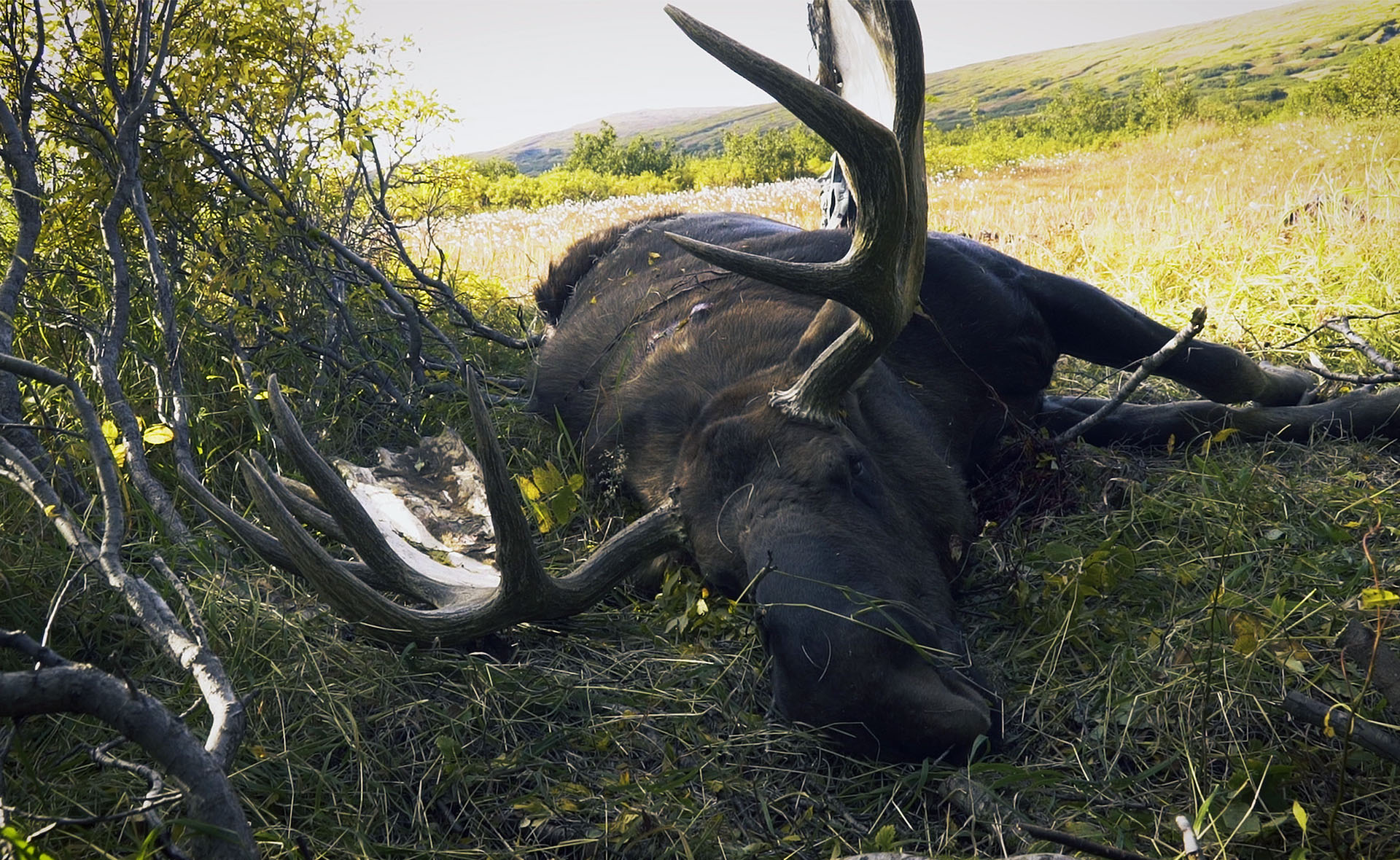 Alaskan Bull Moose down