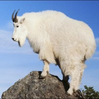Hunting Mountain Goat British Columbia Total Outdoor Adventures
