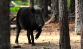 EXTREME Pest Control – RAMPAGING Wild Boar hunt in Czech Republic