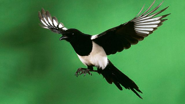 How to get closer to the Elusive Magpie