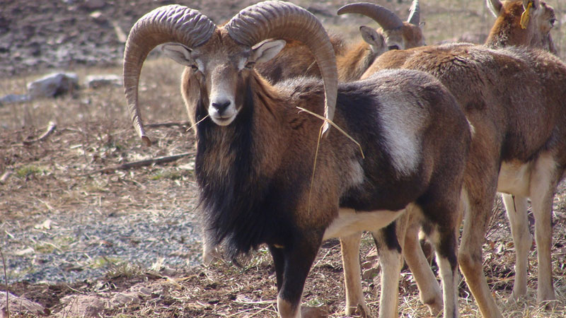 EXTREME Airgun Hunting – Hunting Mouflon Ram with the Benjamin Rogue