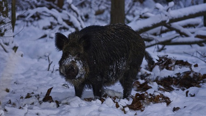 Czech Republic Wild Boar Adventure