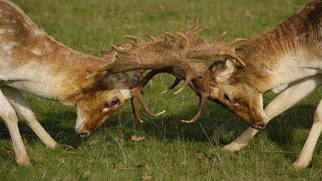 Fallow Stalking In Staffordshire
