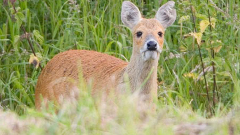 Monster chinese water deer hunt – CIC Gold Medal
