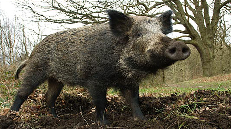Total Boar – Wild Boar In The Forest Of Dean