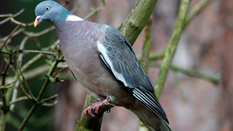 Pigeon Shooting : Concealment Is Key