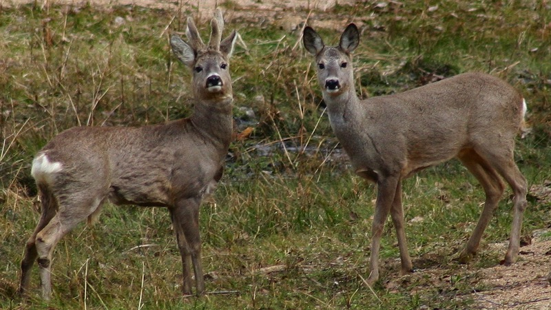 Tick Bites On The Rise … Increased Deer Numbers To Blame?