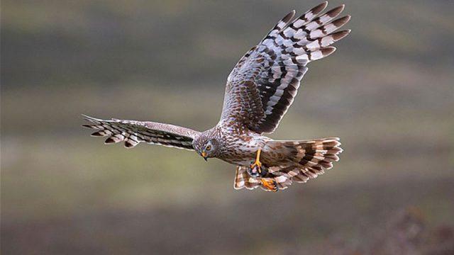 BASC Supports Action To Help Hen Harriers And The Uplands