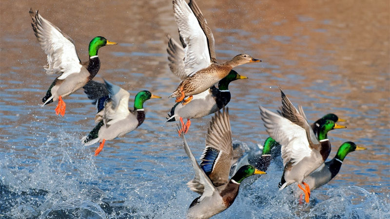 Go Wild for Wildfowl – Callum Burns