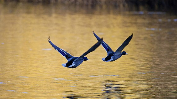 mallard-ducks-in-flight-across-and-autumn-lake-simon-west
