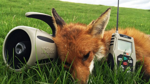 Remote Electronic Fox Callers – How To Get The Best From Yours