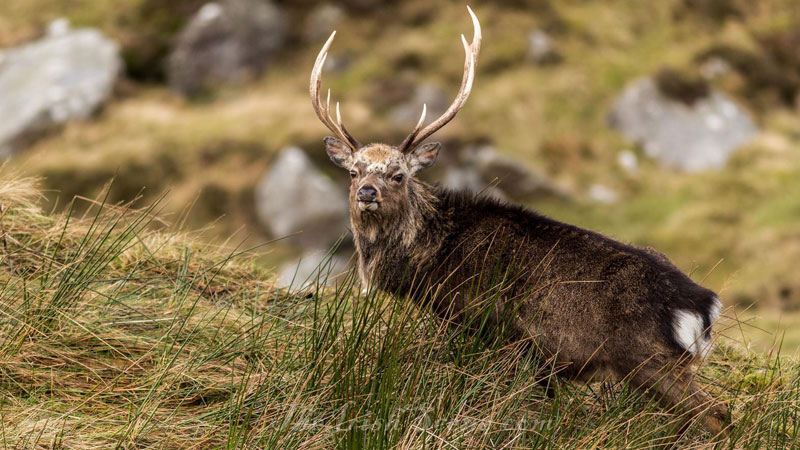 BASC Launches New Deer Stalking Scheme in Northern Ireland.