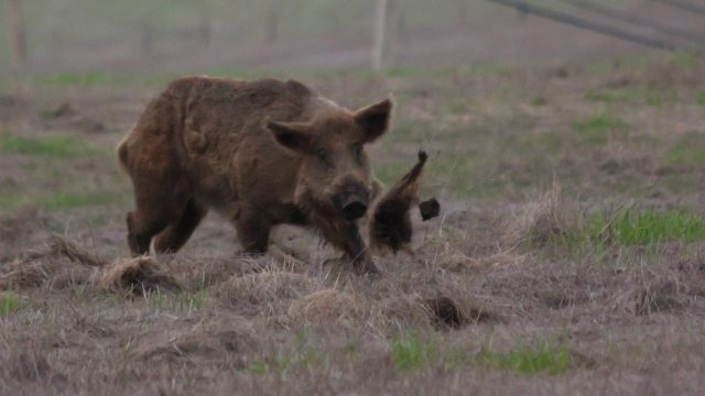 Wild Boar Driven Hunt In France – A First Time Experience