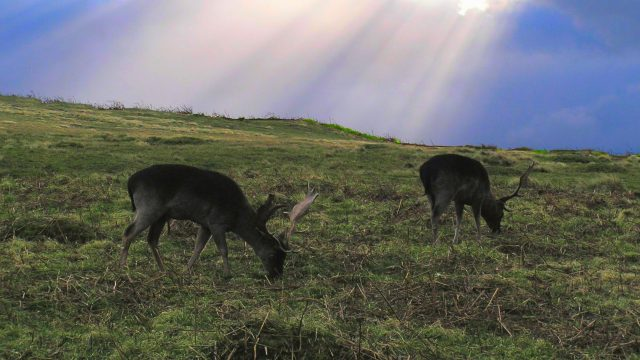 'Out of control' Dogs Chasing Deer To Deaths.