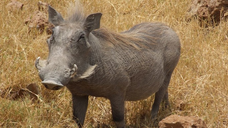 Benjamin Bulldog Big Bore Air Rifle Hunting in South Africa: Warthog