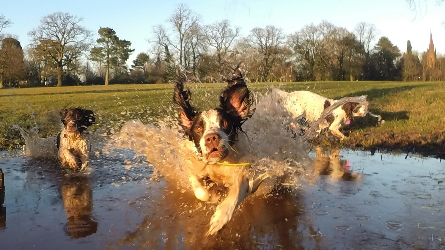 Top Training Tips For Getting Your Gundog In Your Classroom.