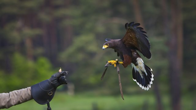Falconry: The Basics | Gavin Dolman