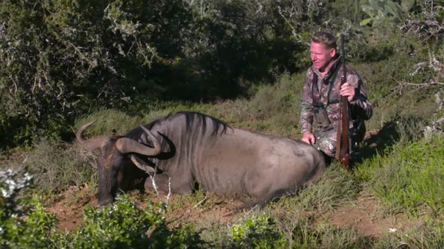 Ian Harford Hunting Blue Wildebeest in South Africa